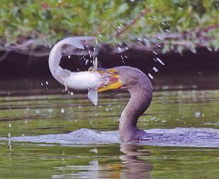 kormoran-mit-fisch-im-maul